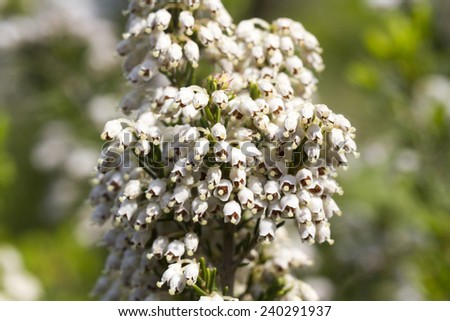 Erica arborea (tree heath) is a species of flowering plant (angiosperms) in the heather family, Ericaceae.  - stock photo