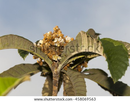 Eriobotrya japonica in Guatemala, Loquat Eriobotrya Japonica tree flower. Floral backgrounds - stock photo