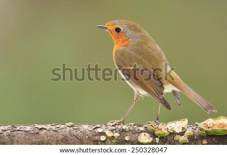 Erithacus rubecula, European Robin - stock photo