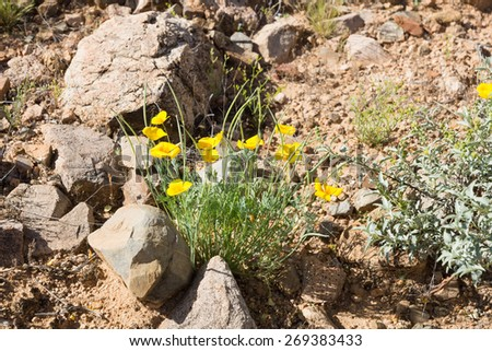 Eschscholzia californica (California poppy, Californian poppy, golden poppy, California sunlight, cup of gold) is   the official state flower of California.  - stock photo
