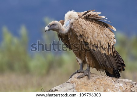 Estremadura, Griffon vulture in a detailed portrait, standing on a rock overseeing his territory - stock photo