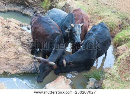 Ethiopia. Addis Ababa, January 7, 2014, Cows at the watering in Ethiopia, Addis Ababa, Entoto Mountain in January 7,2014. - stock photo