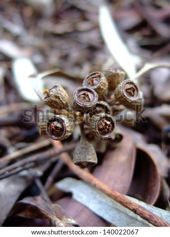 Eucalyptus - stock photo