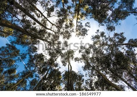 eucalyptus forest near of Lastres, Asturias, Spain - stock photo