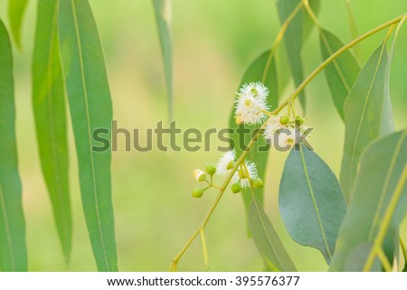 Eucalyptus leaves - stock photo