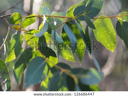 Eucalyptus leaves on sunlight - stock photo