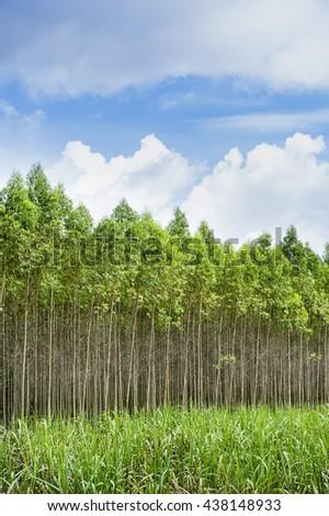 Eucalyptus  plant - stock photo