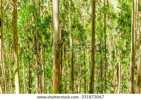 Eucalyptus Tree Forest In Andes Mountains - stock photo