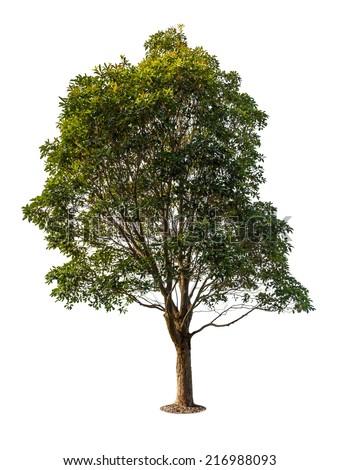 Eucalyptus tree, isolated on white - stock photo