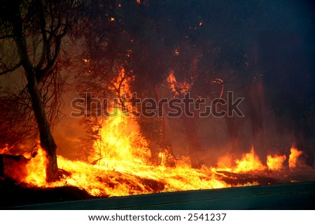Eucalyptus trees on fire - stock photo