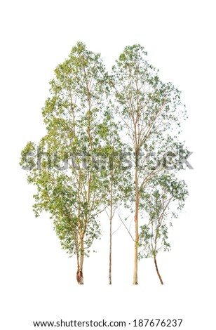 Eucalyptus trees, tropical tree in the northeast of Thailand isolated on white background - stock photo