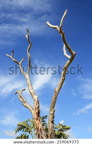 eucalyptus trunk over blue sky - stock photo