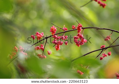 Euonymus europaeus, known as spindle, and also as European spindle and common spindle  - stock photo