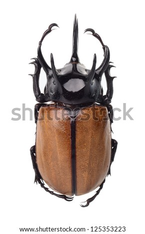 Eupatorus gracilicornis beetle isolated on white - stock photo