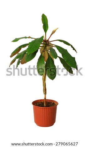 euphorbia a potted plant isolated over white - stock photo