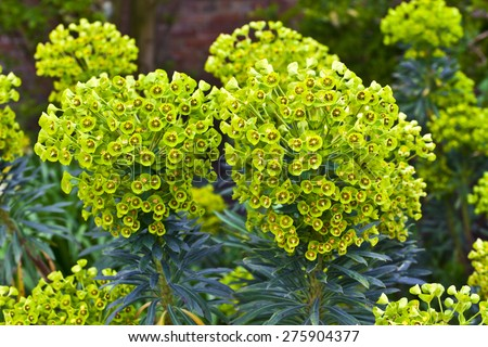 Euphorbia flowering evergreen plant in a garden. - stock photo