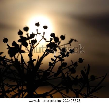 Euphorbia lamarckii backlit - stock photo