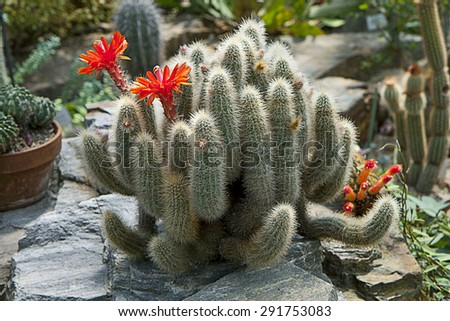 Euphorbia succulent plant in garden with red flowers. Euphorbias are originated from the deserts of Southern Africa and Madagascar and have evolved physical characteristics and forms similar to cacti  - stock photo
