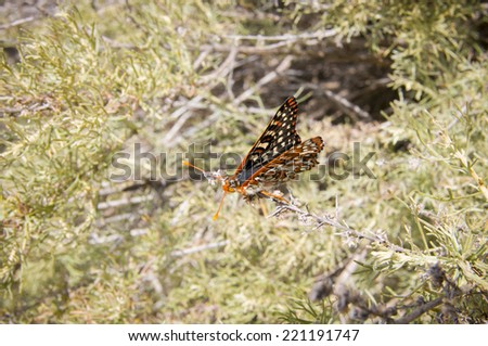 Euphydryas chalcedona Chalcedon in Santa Monica mountains, CA - stock photo