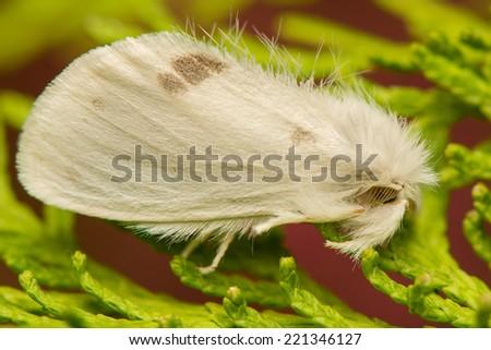 Euproctis similis - stock photo