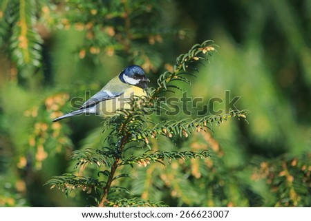 Eurasian blue tit in conifer branches - stock photo