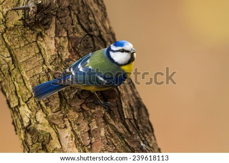 Eurasian blue tit on the bark tree - stock photo
