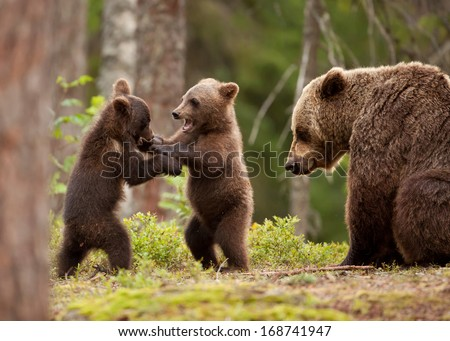 Eurasian brown bear (Ursos arctos) female and her playful cubs at the edge of a boreal forest, Finland. - stock photo