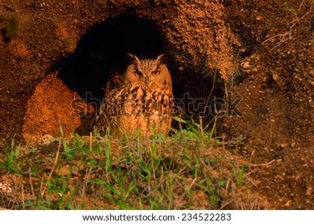 Eurasian Eagle-Owl  - stock photo