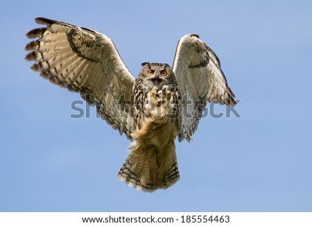 Eurasian Eagle-Owl (Bubo bubo) in flight with a catch, UK - stock photo