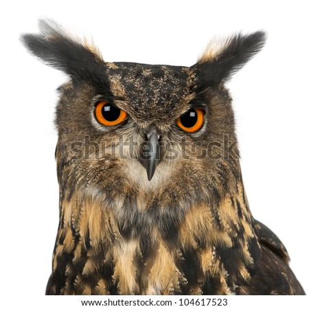 Eurasian Eagle-Owl, Bubo bubo, 15 years old, against white background - stock photo