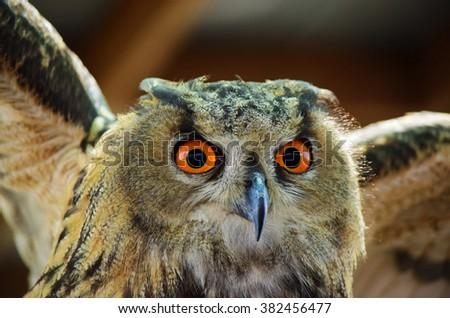 Eurasian Eagle Owl Portrait - stock photo