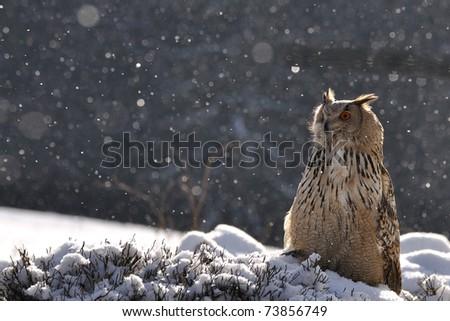 Eurasian Eagle Owl sitting on ground when snowing - stock photo