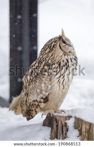 Eurasian Eagle Owl sitting on wood - stock photo