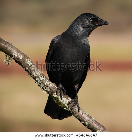 Eurasian Jackdaw, also known as Western Jackdaw or simply Jackdaw perched against a lovely autumn coloured background - stock photo