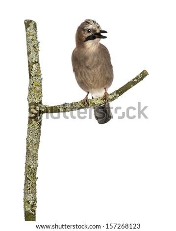 Eurasian Jay perching on a branch tweeting, Garrulus glandarius, isolated on white - stock photo