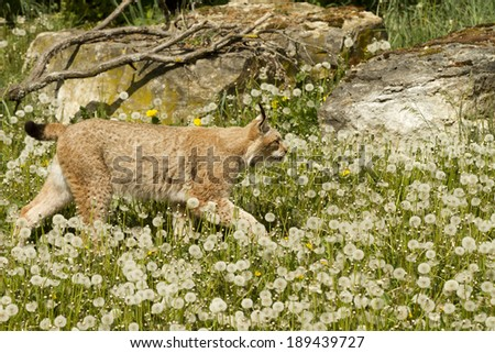 Eurasian Lynx - stock photo