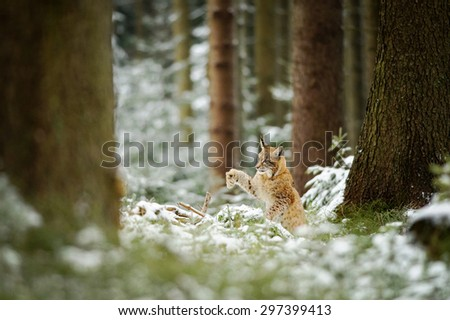 Eurasian lynx cub shaking down snow from paw in forest full of high trees. Cold winter season. - stock photo