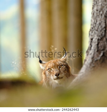 Eurasian lynx hidding behind tree trunk in autumn - stock photo
