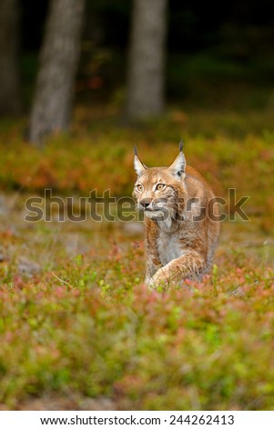 Eurasian lynx in colorful ground in the forest - stock photo