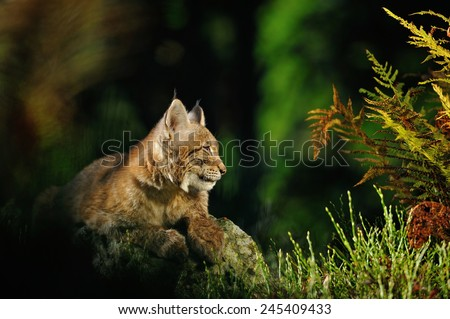 Eurasian lynx in forest with fern and colorful grass - stock photo