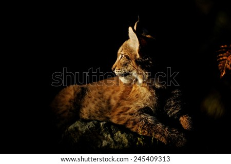 Eurasian lynx in the dark lighten by sun  - stock photo