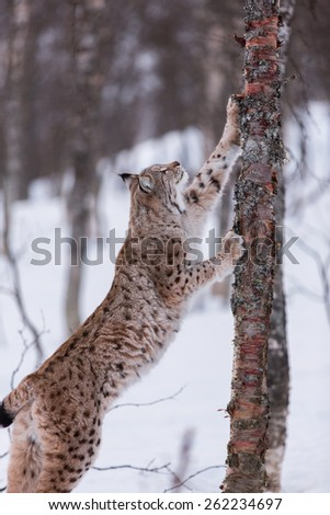 Eurasian Lynx in the snow stretching up tree - stock photo