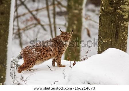 Eurasian lynx is hunting - stock photo