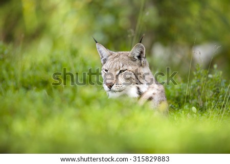 Eurasian lynx lying in the green grass - stock photo