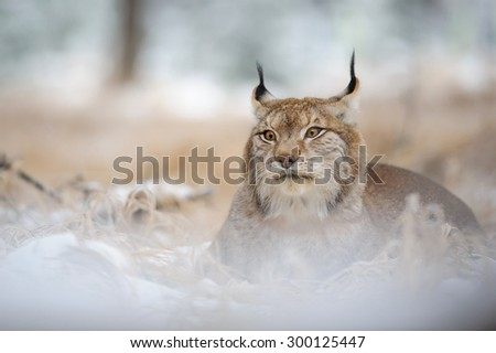 Eurasian lynx lying on ground in winter time. Yellow grass in cold freeze time - stock photo