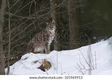 Eurasian Lynx (Lynx lynx) male  sitting in snow in a forest - stock photo