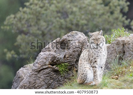 Eurasian lynx (Lynx lynx), sitting on top of a rock, looking at camera, Cabarceno Natural Park, Cantabria, Spain - stock photo