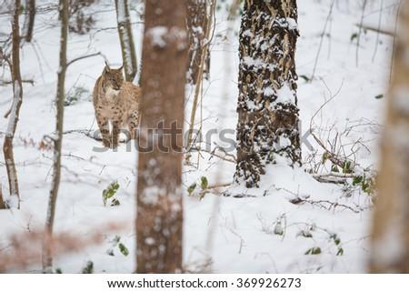 Eurasian Lynx (Lynx lynx) walking quietly in snow - stock photo