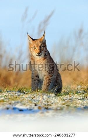 Eurasian Lynx on snow meadow in winter - stock photo