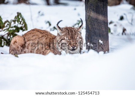 Eurasian Lynx sitting and looking into camera (Lynx lynx carpathicus) - stock photo